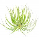 """Tillandsia Stricta Green Air Plant 5"""" From USA"""