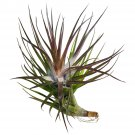 """Tillandsia tenuifolia Emerald Forest Air Plant 4"""" Wide From USA"""