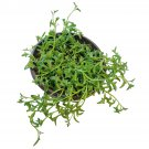 String of Dolphins Senecio Peregrinus Succulent 4 Inch From USA