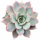 """Echeveria Subsessilis Succulent 2"""" + Clay Pot From USA"""