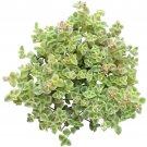 Sedum Little Missy Succulent 4 Inch From USA