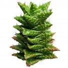 "Aloe Juvenna Tiger Tooth Aloe Succulent 4"" + Clay Pot From USA"