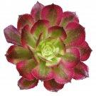 "Aeonium Mardi Gras Ruby Rose Succulent 2"" + Clay Pot From USA"