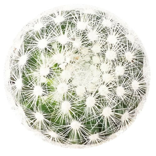 "Mammillaria Carmenae Albiflora Isla Carmen Pincushion Cactus 3.5 "" + Clay Pot From USA"