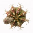 Britton & Rose Gymnocalycium mihanovichii 3 Inch From USA