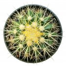 "Golden Barrel Cactus Echinocactus Grusonii Cactus 4"" + Clay Pot From USA"