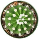 """Domino Cactus Echinopsis Succulents Furry Round Spiky Cactus 4"""" + Clay Pot From USA"""