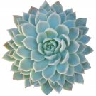 """Echeveria Violet Queen Hens and Chicks Succulent 2"""" + Clay Pot From USA"""
