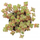 "Sedum Spurium Succulents Tricolor 4"" + Clay Pot From USA"