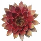 """Sempervivum Red Lion Succulent 2"""" + Clay Pot From USA"""