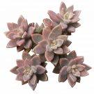 "Graptosedum 'California Sunset' Echeveria-like Rosette Orange Pink 2"" + Clay Pot From USA"