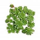 Sedum Cremnosedum Little Gem 4 Inch From USA