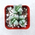 """Corpuscularia lehmannii Ice Plant 2"""" + Clay Pot From USA"""