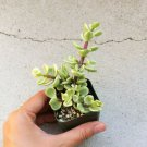 """Variegated Elephant Bush Portulacaria afra Succulent 2"""" + Clay Pot From USA"""