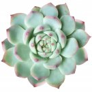 """Echeveria Tippy Pink Tip Pointy Lotus Succulent 4"""" + Clay Pot From USA"""