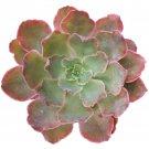 """Echeveria Neon Breaker Succulents Neon Purple Plant 4"""" + Clay Pot From USA"""
