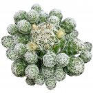 Thimble Cactus Mammillaria Small Cactus Gracilis Fragilis 2 Inch From USA