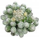 "Thimble Cactus Mammillaria Small Cactus Gracilis Fragilis 2"" + Clay Pot From USA"