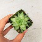 Haworthia Star Window Plant Haworthia 2 Inch From USA
