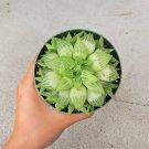 Haworthia Star Window Plant Haworthia 4 Inch From USA