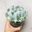 """Echeveria Topsy Turvy Succulent 4"""" + Clay Pot From USA"""