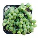 "String Of Pearls Plants Succulents Senecio Rowleyanu Plants 2"" + Clay Pot From USA"