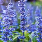Kolokolo Store Hyssop  1,000 Seeds  Hyssopus officinalis Grow your own herb Garden seeds USA