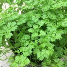Kolokolo Store Chervil  1,000 Seeds  Culinary and Medicinal  NONGMO, Open Pollinated USA