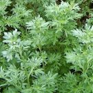Kolokolo Store WORMWOOD ABSINTHE  1,000 SEEDS  ARTEMISIA ABSINTHIUM MOSQUITO PESTS REPELLENT