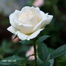 Kolokolo Store 5 Seeds Rare white Rose Bush Beautiful & Exotic perennial flowers USASELLER