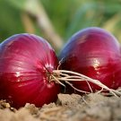 Kolokolo Store Red Grano Onion  300 Seeds  Heirloom, NonGMO Short Day , USASAMEDAYSHIP