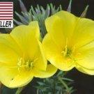 Kolokolo Store 1,000 Seeds Evening primrose seeds Beautiful Garden Butterfly USASELLER