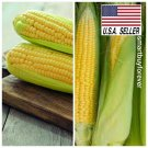 Kolokolo Store 200 Fresh Early Golden Bantam Sweet CORN seeds Heirloom NONGMO USASELLER