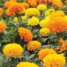 Kolokolo Store 1,000 African Marigold Crackerjack Flower seed mix USA seller