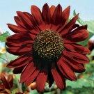 Kolokolo Store 300 Velvet Queen SUNFLOWER SEEDS HELIANTHUS ANNUUS FLOWER ANNUAL USA