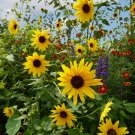 Kolokolo Store 3,000 Organic Wild Native Annual Sunflower seeds helianthus annuus USA seller