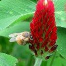 Kolokolo Store Organic Red Crimson Clover Trifolium Incarnatum  15,000 Bulk Seeds pollunator