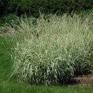 Kolokolo Store 4 ounce 120,000 Phalaris arundinacea NATIVE ORNAMENTAL reed canary GRASS Seeds