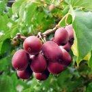 Kolokolo Store Ken's Red Kiwi seeds Actinidia arguta hardy to 25 USA SELLER