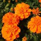 Kolokolo Store Marigold Tagetes Erecta Orange 50 Seeds BOGO 50% off SALE