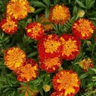 Kolokolo Store Marigold Harmony  Tagetes Patula 25 Seeds BOGO 50% off SALE