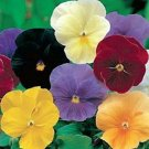 Kolokolo Store Pansy Clear Crystal Mix  50 Seeds BOGO 50% off SALE