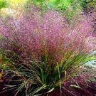 Kolokolo Store Love Grass Purple(Eragrostis Spectabilis) 25 Seeds BOGO 50% off SALE