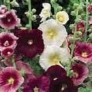 Kolokolo Store Hollyhock Indian Spring Mix 50 seeds BOGO 50% off SALE