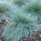 Kolokolo Store Blue Fescue (Festuca cincerea glauca varna) 25 seeds  BOGO 50% off SALE