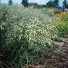 Kolokolo Store Brome Mediterranean (Bromus macrostachys) 25 seeds  BOGO 50% off SALE