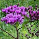 Kolokolo Store Ironweed Vernonia Fasciculata 200 Seeds BOGO 50% off SALE