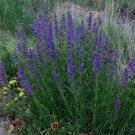 Kolokolo Store Penstemon Rocky Mountain 100 Seeds BOGO 50% off SALE