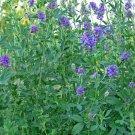 Kolokolo Store Alfalfa Medicago Sativa 500 Seeds BOGO 50% off SALE