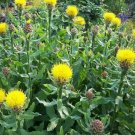 Kolokolo Store Cornflower Centaurea Macrocephala 25 Seeds BOGO 50% off SALE